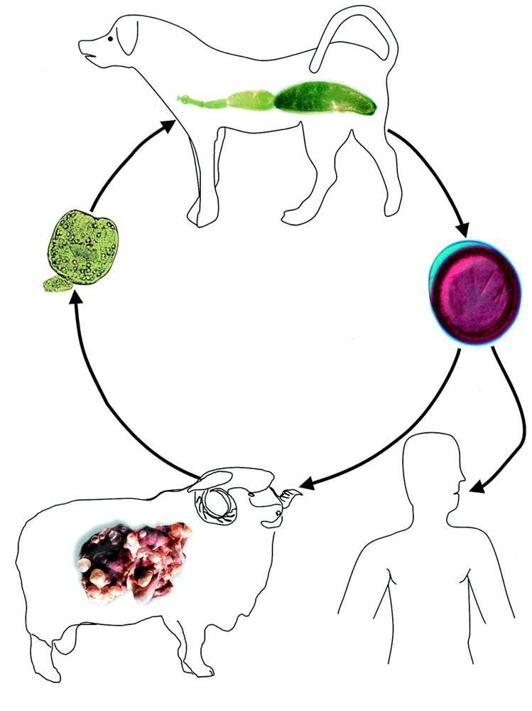 exinokokk sisti